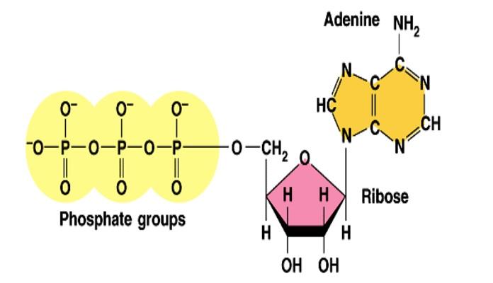 Cấu tạo của một ATP cơ bản