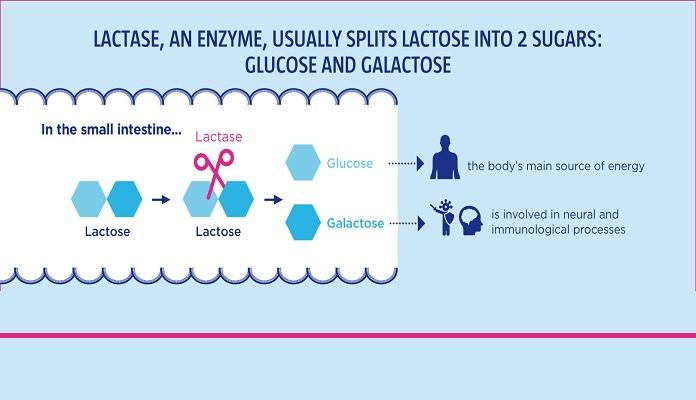 Nhờ enzyme Lactase, Lactose phân giải thành glucose và galactose
