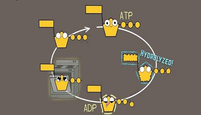 Quá trình phân giải và tái chế ATP