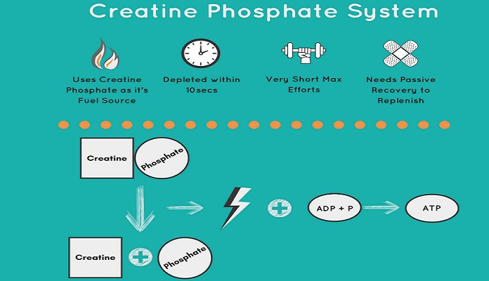 Sự tổng hợp ATP của hệ Phosphagen